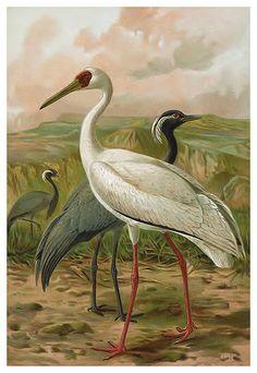 Demoiselle and Siberian Cranes