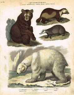 """Antique Animal - Edwards's Quadrepeds - """"CLASS MAMALIA, ORDER FERAE, GENUS URSUS"""" - Hand Colored Engraving - 1807"""