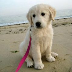 English Cream Retriever named Ellie.  Oh my! what a darling!  This is a new breed to me and I have to find out more about them.