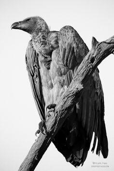 White back vulture. Kruger National Park