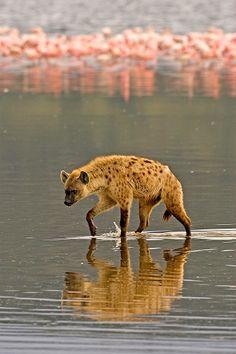 Hyena hunting in Lake Nakuru