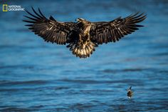 Photo and caption by Eric Esterle / 2016 National Geographic Nature Photographer of the Year   A juvenile bald eagle drops its catch and prepares to defend itself from an approaching adult bald eagle with talons out. In the previous frames, this aggressive and impressive juvenile expertly picked up its catch out of the water and, as seen in this frame, was immediately required to defend itself from the much larger adult.