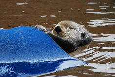 """Sea otter pulls a """"blanket"""" over herself for a nap - May 26, 2015"""