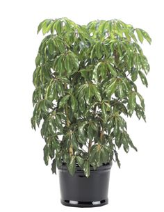Greens By White Corporate Plant Rental and Special Events Potted Plants, Indoor Plants, Umbrella Tree, Ornamental Plants, Eco Friendly House, Plant Design, Shrubs, House Plants, Special Events
