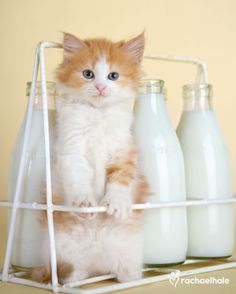 milk for a healthy body--the kitty knows best