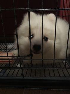 Meet Japanese Spitz Dexter, Dog of Sarah: Japanese Spitz, Dexter, Singapore, Meet, American, Dogs, Animals, Animales, Dexter Cattle