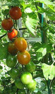 Tomater tips og tricks