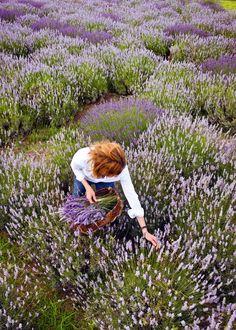 ♡lavanda - lavender fields forever