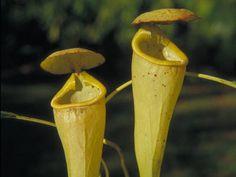 Pesquisa - The Plant List