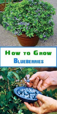 Grow blueberries in a large pot as they need the space to grow well 12 16 in diameter should suffice Blueberries grow well when planted together with strawberries. as the strawberries provide ground cover to keep the soil cool and damp (just how blueberri Diy Garden, Garden Care, Fruit Garden, Edible Garden, Garden Landscaping, Veggie Gardens, Potted Garden, Fruit Plants, Potted Tomato Plants