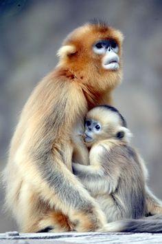 Un bébé singe dans les bras de sa mère