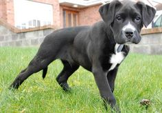 Mind Blowing Facts About Labrador Retrievers And Ideas. Amazing Facts About Labrador Retrievers And Ideas. Boxer Labrador Mix, Boxer Lab Mixes, Boxer Dogs, Boxers, Labrador Retrievers, Retriever Puppies, Boxador Puppies, Puppys, Reptiles