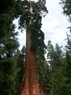 General Grant Tree in the Kings Canyon National Park