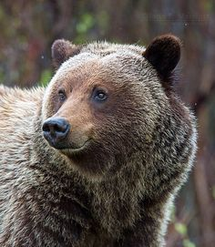 Female Grizzly Bear by John E Marriott