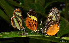 https://flic.kr/p/VDGrZ4 | Butterfly trio at breakfirst | from Ecuador: www.flickr.com/andreaskay/albums