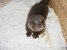 OTTER -otter pup is too cute.