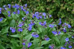 Pulmonaria angust 'Bue Ensign' : good ground covering perennial