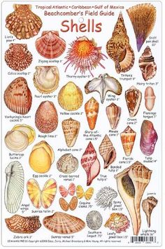 fishcardscom Shell ID Card: Beachcomber's Field Guide Tropical Atlantic Caribbean Gulf of Mexico Seashell Painting, Seashell Art, Seashell Crafts, Beach Crafts, Stone Painting, Seashell Projects, Driftwood Projects, Driftwood Art, Seashell Identification