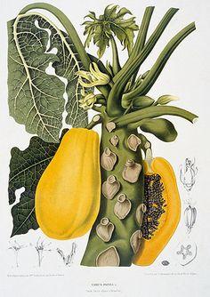Berthe Hoola van Nooten  Carica Papaya