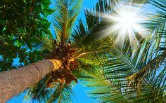 Lataa kuva Palmu, sininen taivas, palm lehdet, kookospähkinöitä, kesällä, loma, matka