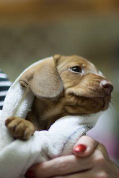 .#dachshund #doxie #teckel
