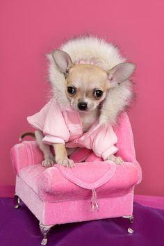pink chihuahua - Pesquisa Google