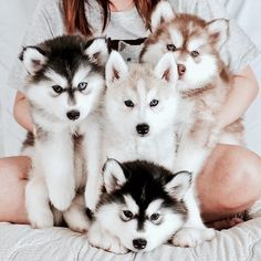 Names For Dogs: 32 Sensational Siberian Husky Names [PICTURES Here are some Huskies from all over the world with super names!Here are some Huskies from all over the world with super names! Cute Puppies, Cute Dogs, Dogs And Puppies, Doggies, Corgi Puppies, Huskies Puppies, Malamute Puppies, Cute Husky, Husky Puppy