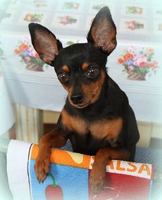 Miniature Pinscher - Princess Zianna -