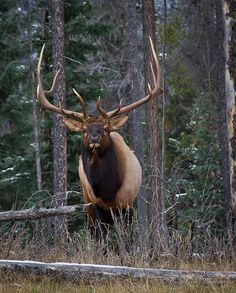 North American Elk | by Turk Images