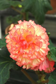 Begonia Carnation from Brazil for South American Room for shower