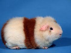 Guinea pig breed: Rex