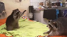 natsdorf — Raccoons have fun playing with bubbles. [full...