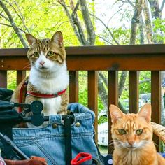 Cats Fuku-Chan and Daikichi find fame travelling around the world - Ego - AlterEgo Travel Around The World, Around The Worlds, Travelling, Kitty, Japan, Cats, Gatos, Kitten, Okinawa Japan