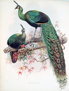 Peacocks, Green Peafowl (Pavo muticus)  from A monograph of the Phasianidae, Family of the pheasants, 1872, by Daniel G. Elliot