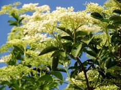 16 plantes sauvages comestibles