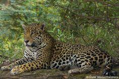Jaguar resting in the Brazilian Pantanal.