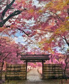 """2017 Japan Cherry Blossom viewing (Hanami) season. 今しかできない思い出を。日本全国の""""春の季節限定""""絶景桜スポット7選2017"""