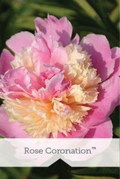 PEONY 'Rose Coronation'