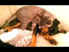 ▶ Cats Taking Care of Dogs Compilation - YouTube