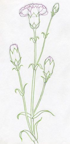 Flower Drawing How To Draw Carnation.drawing is easy you just start drawing and use eraser. You will succeed. Botanical Line Drawing, Floral Drawing, Flower Drawing Tutorials, Art Tutorials, Flower Drawings, Plant Drawing, Painting & Drawing, Carnation Drawing, Watercolor Flowers