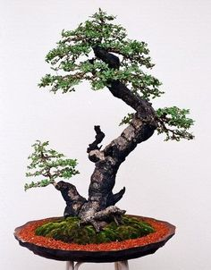 Bonsai informal upright; love the pot & simple, tall legged stand