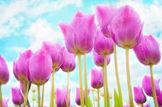 Tulips, Pink, Spring, Flowers