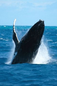 Humpback Whale In Pacific Ocean