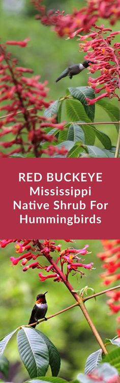 Red Buckeye This native shrub produces bright red flowers in early spring that attracts hummingbirds and butterflies via tarawildlife Bush Garden, Garden Shrubs, Lawn And Garden, Witch's Garden, Garden Ideas, Hummingbird Flowers, Hummingbird Garden, How To Attract Hummingbirds, How To Attract Birds