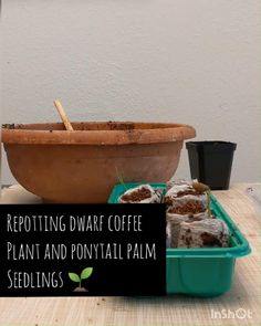 Video: How to Repot Dwarf Coffee Plant