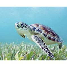 Hawaii Green Sea Turtle (Chelonia Mydas) An Endangered Species Canvas Art - M Swiet Productions Design Pics (19 x 15)