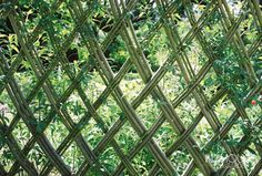 live willow lattice fence