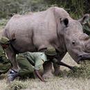 Este rinoceronte blanco busca pareja en Tinder porque es el último que queda en el planeta  Soy único en mi especie. No, en serio. Soy el último rinoceronte blanco macho del planeta Tierra. No quiero parecer muy lanzado, pero el destino de mi especie literalmente depende de mí. Me desenvuelvo bien bajo presión....