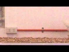 Gallina con cola artificial para estudiar la locomoción de dinosaurios n...
