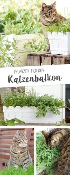 Our cat balcony - the plants-Unser Katzenbalkon – Die Pflanzen How mine creates a safe cat balcony with great cat plants like catnip, cat gamander, cat grass and valerian. Cat Plants, Balcony Plants, Balcony Garden, Garden Care, Cat Garden, Dog Mom, Food Dog, Cat Grass, Gatos Cats